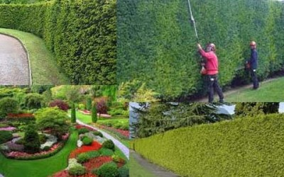 Hedge and Tree Trimming